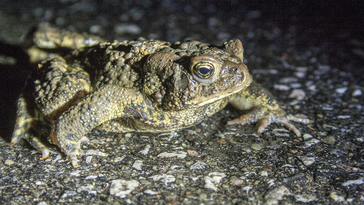 American Toad migration