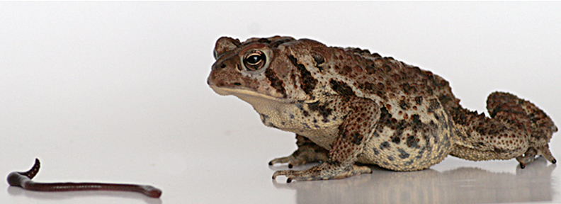 American Toad approach