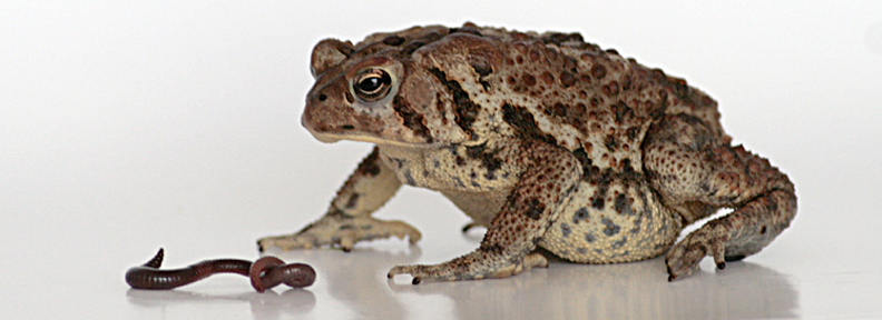 American Toad decision