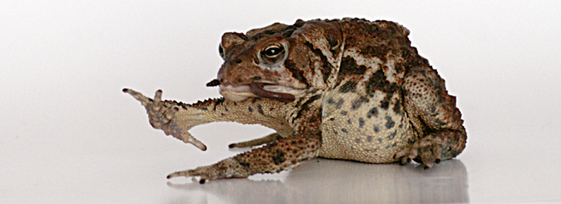 American Toad, manipulating worm end