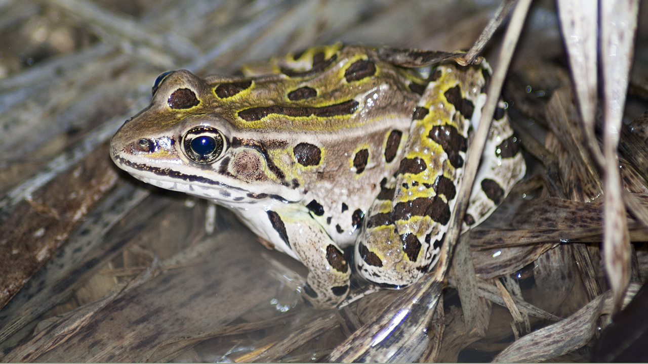 Famale Leopard frog on floating vegetation mat