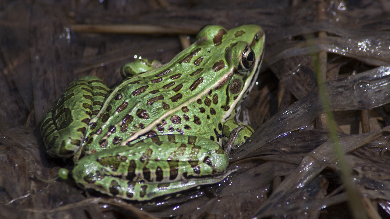 Bright green Leopard frog