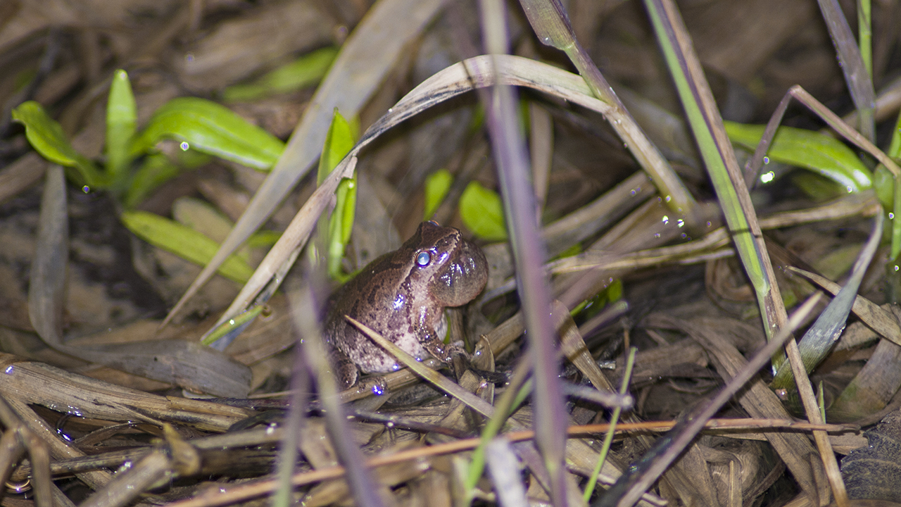 Spring Peeper partialy inflated vocal sac