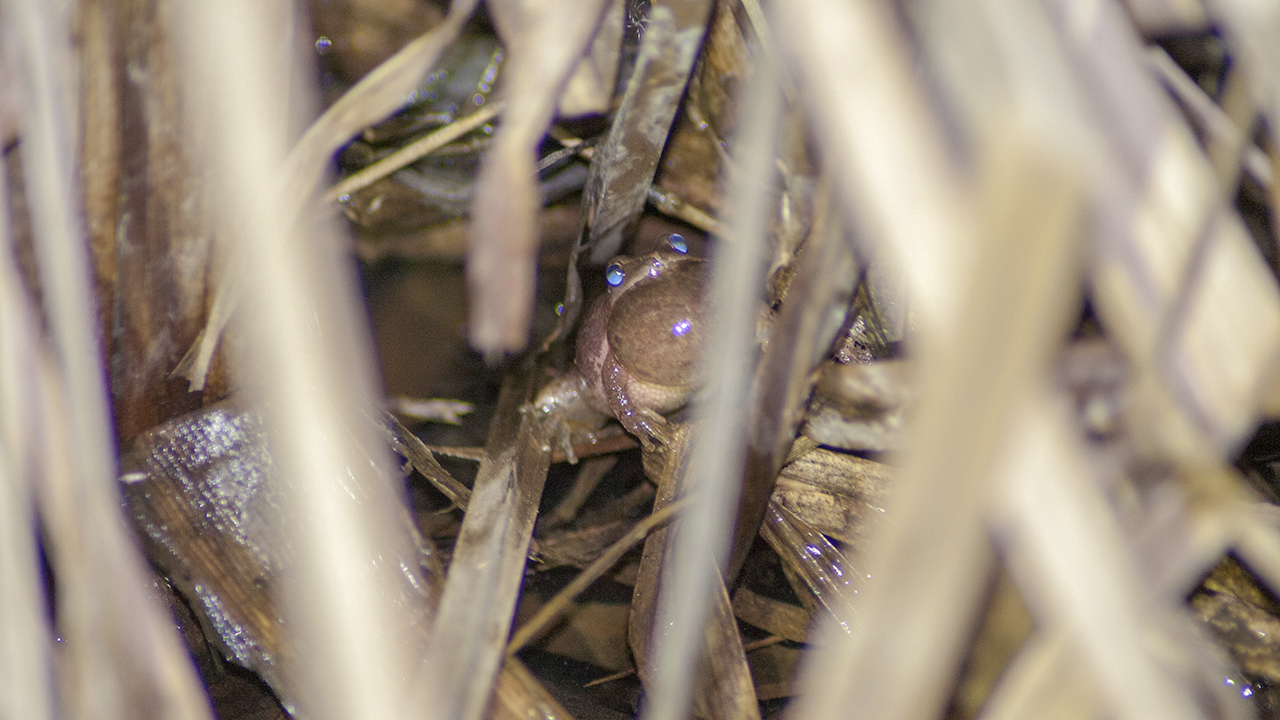 Spring Peeper calling from cover