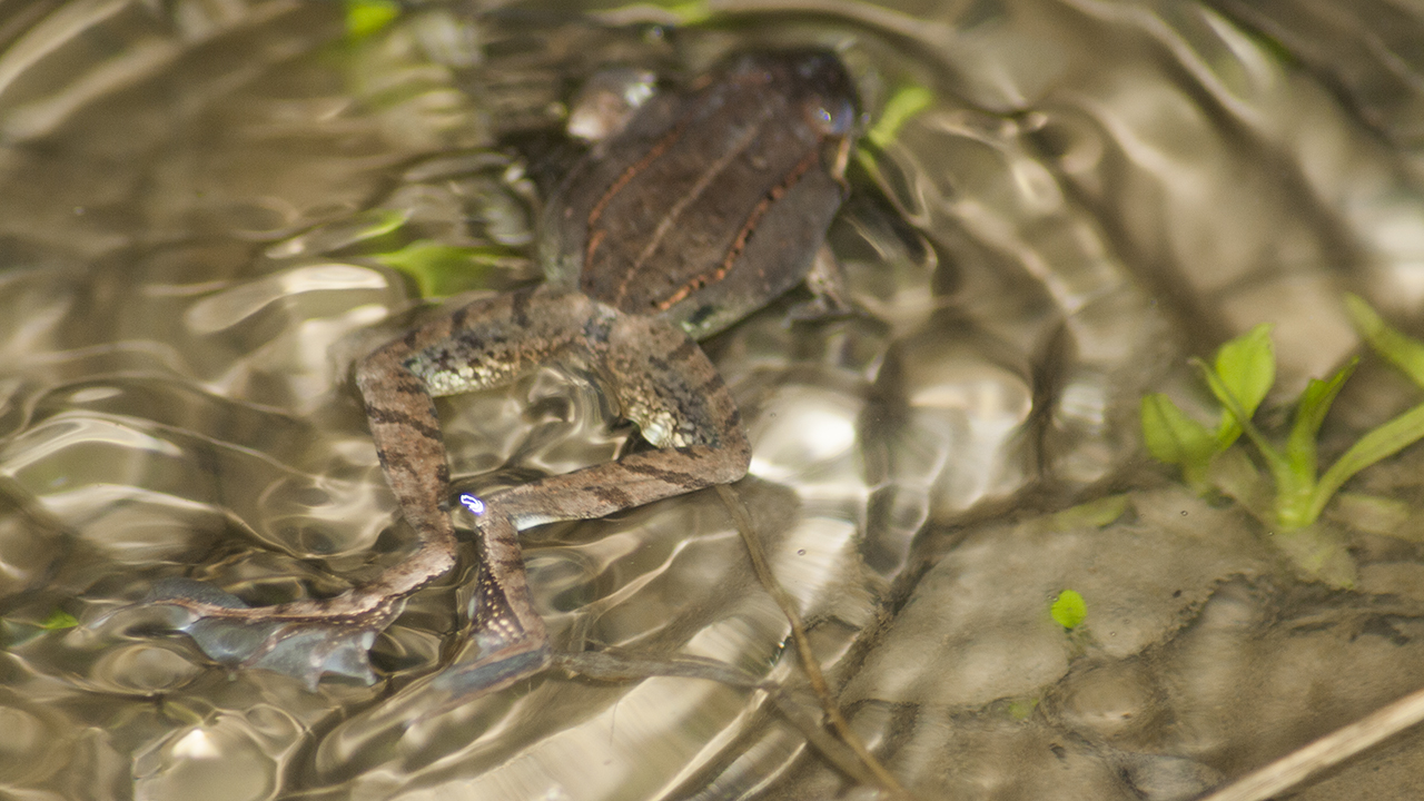 Wood frog swimming